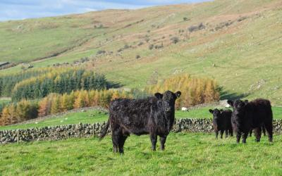 Galloway Cattle in the environment